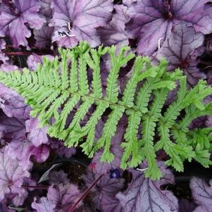 Dryopteris affinis 'The King'