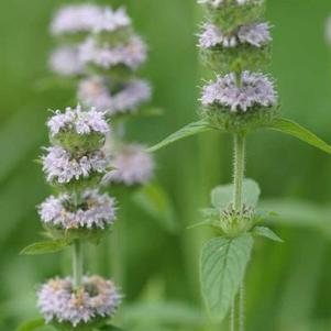 Blephilia ciliata 'Downy Wood Mint'