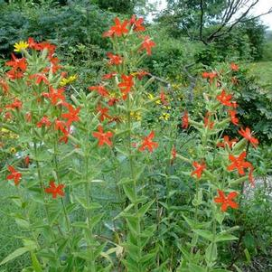 Silene regia 'Royal Catchfly'