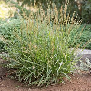 Calamagrostis 'Cheju-do'