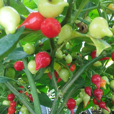 Pepper 'Biquinho Red'