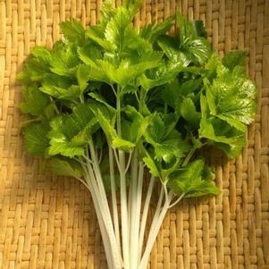 Chinese Celery 'White Queen'