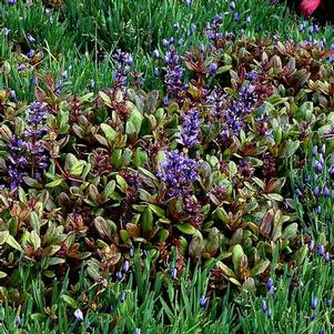 Ajuga repens 'Blueberry Muffin'