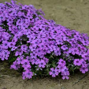 Phlox subulata 'Eyeshadow'