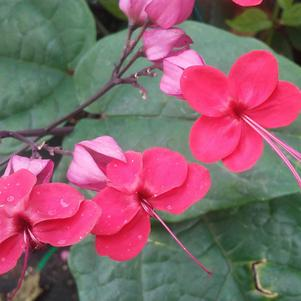 Clerodendrum x speciosum 'Java Red Vine'