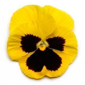 Pansy 'Spring Matrix Yellow Blotch'