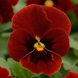 Viola 'Sorbet XP Red Blotch'
