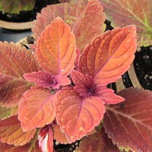 Coleus 'Colorblaze® Rediculous™'