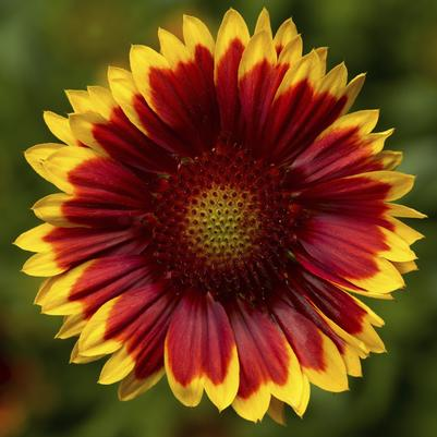 Gaillardia Sunrita Red Yellow Tip