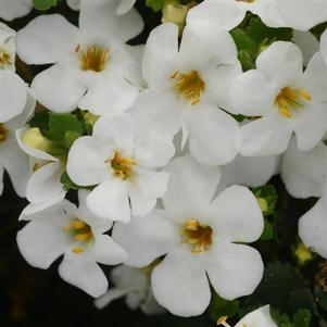 Bacopa 'Versa™ White'