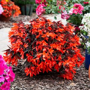 Begonia 'Bossa Nova™ Night Fever Papaya'