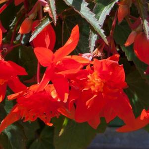 Begonia boliviensis 'Mistral™ Orange Double'