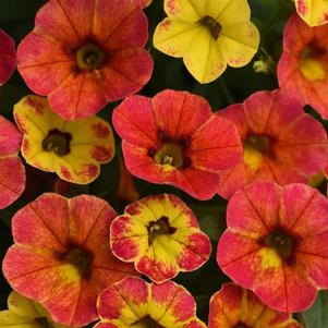 Calibrachoa 'Cabaret® Diva Orange - N/A'