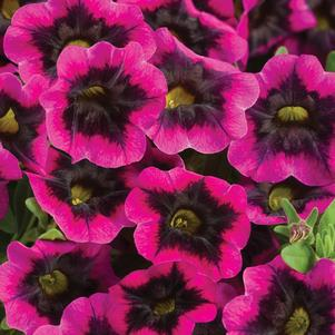 Calibrachoa 'Superbells® Blackcurrant Punch'