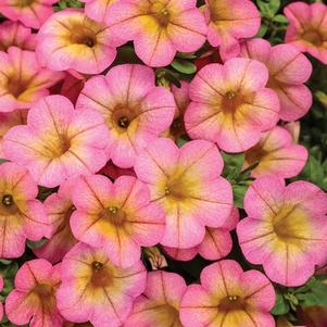 Calibrachoa 'Superbells® Honeyberry'
