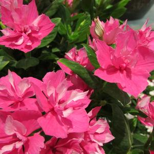 Catharanthus 'Soiree® Double Pink'