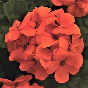 Geranium 'Fantasia® Orange'