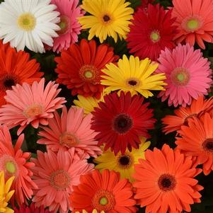Gerbera 'Revolution™ Mix Select'