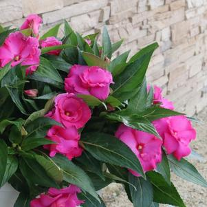Impatiens 'Roller Coaster Hot Pink'