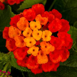 Lantana 'Hot Blooded™ Red'