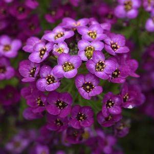 Lobularia 'Easy Breezy™ Purple'