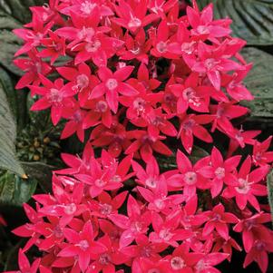 Pentas 'Sunstar™ Red'