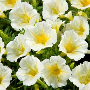 Petunia 'Blanket® Yellow'