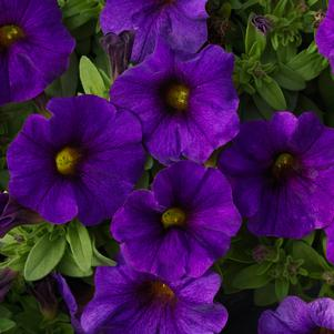 Petunia 'SuperCal® Blue'