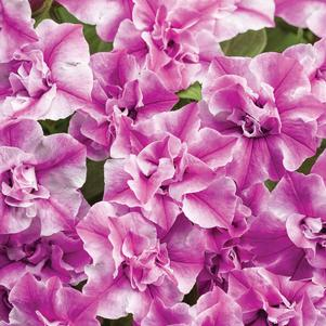 Petunia 'Supertunia® Sharon'