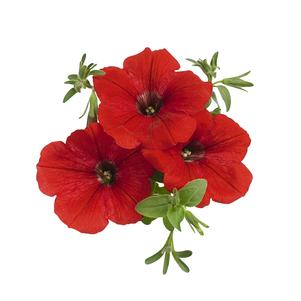 Petunia 'Surprise Fire Engine Red'