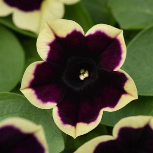 Petunia 'Headliner™ Dark Saturn'