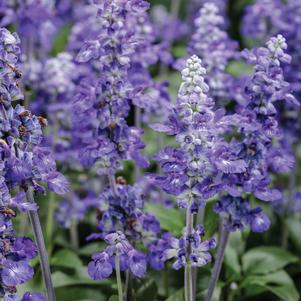 Salvia chamelaeagnea x scabra 'Unplugged™ So Blue™'