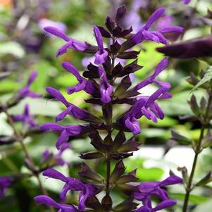 Salvia guaranitica 'Purple & Bloom'