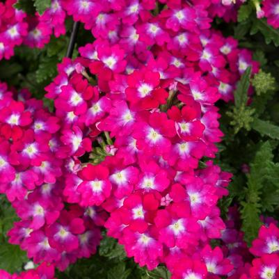 Verbena 'Empress® Flair Neon'