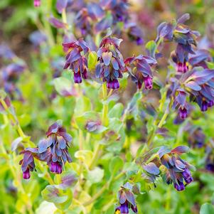 Cerinthe purpurascens 'Honeywort'