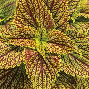 Coleus 'ColorBlaze® Golden Dreams™'