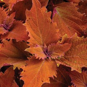 Coleus 'ColorBlaze® Wicked Hot™'