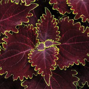 Coleus 'ColorBlaze® Wicked Witch™'