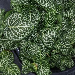 Fittonia 'White Mini'