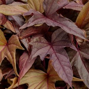 Ipomoea batatus 'Sweet Caroline Red Hawk™'