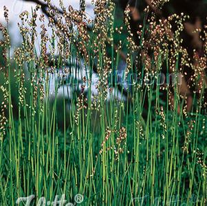 Briza media 'Quaking Grass'
