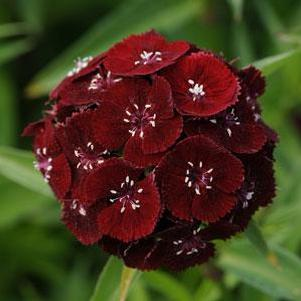 Dianthus barbatus 'Sweet™ Black Cherry'