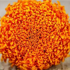 Marigold 'Spun Orange'