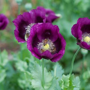 Papaver somniferum 'Lauren's Grape'