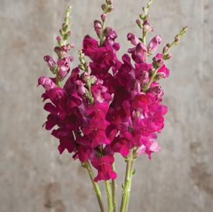 Snapdragon 'Potomac Royal'