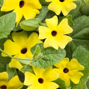 Thunbergia hybrid 'Lemon A-Peel®'