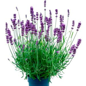 Lavender angustifolia 'BeeZee Power Blue'