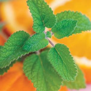 Lemon Balm 'Orange Mandarina'