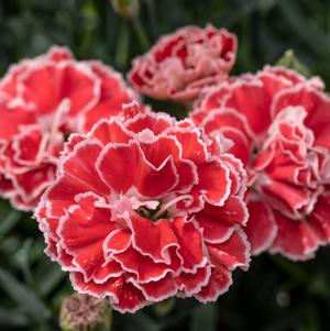 Dianthus 'Constant Beauty® Crush Orange'