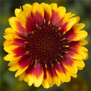 Gaillardia 'Barbican™ Yellow Red Ring'